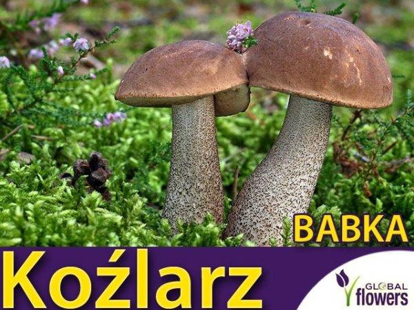 Mikoryza Grzybnia Koźlarz babka (Leccinum scabrum) XXL 100g