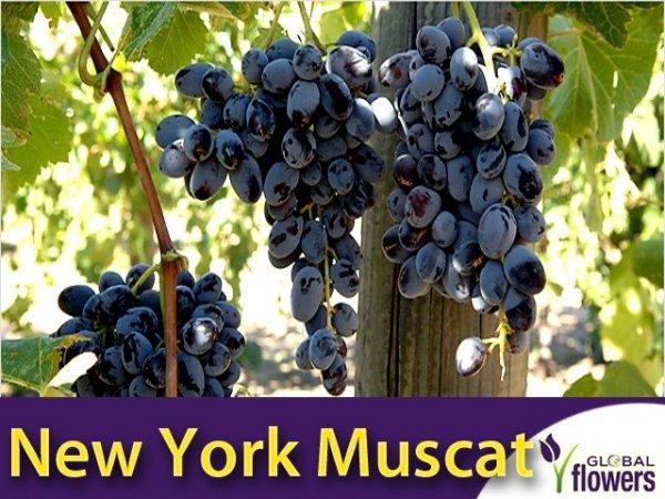 Winorośl New York Muscat Sadzonka - odmiana deserowa-przerobowa