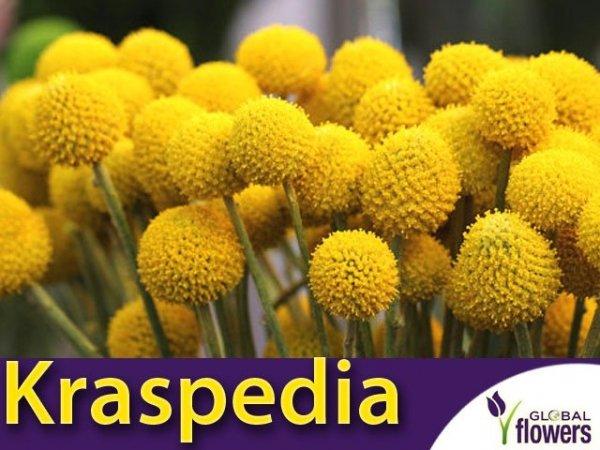 Kraspedia żółta (Craspedia globosa) nasiona