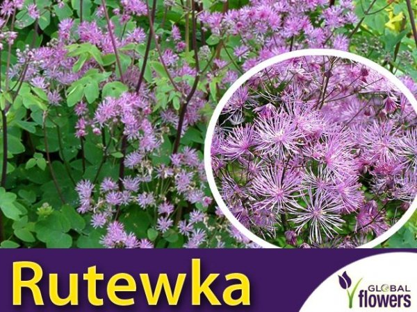 Rutewka 'Black Stockings' (Thalictrum ) Sadzonka