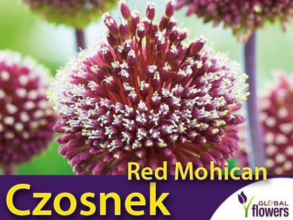 Czosnek Red Mohican (Allium Red Mohican)