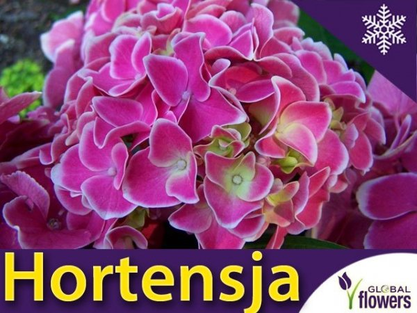 Hortensja ogrodowa 'Tivoli rosa' (Hydrangea macrophylla) Dwubarwna Sadzonka