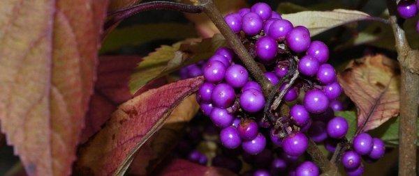 Pięknotka Bodiniera 'Profusion' uprawa