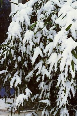 Phyllostachys bissetii Sadzonka