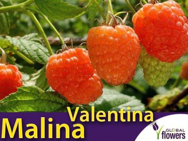 Malina właściwa morelowa (Rubus idaeus) 'Valentina®' Sadzonka
