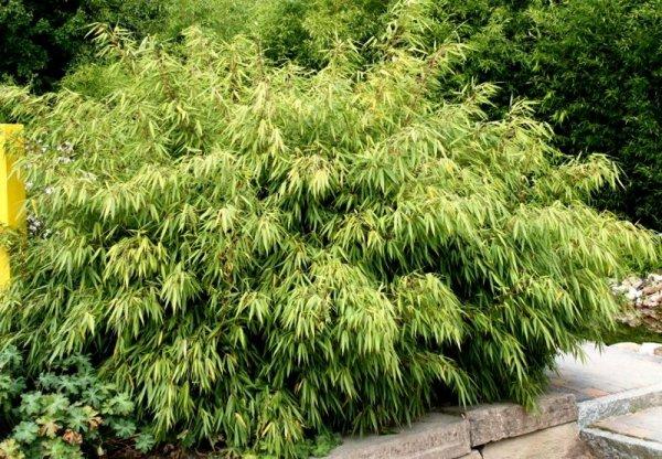 bambus fargesia rdzawa cena