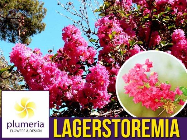 Lagerstroemia Petite Pink (Lagerstroemia indica) Krzew który kwitnie 120 dni Sadzonka