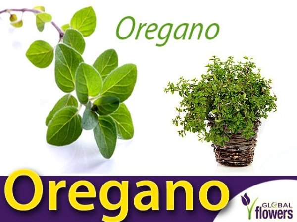 Oregano - Lebiodka pospolita (Origanum vulgare) 0,1g