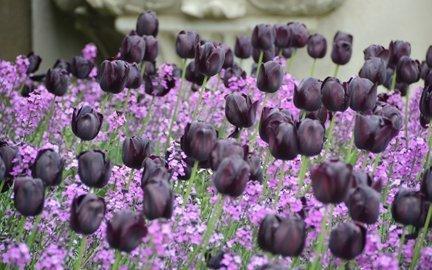 elegancki tulipan w kolorze czarnym