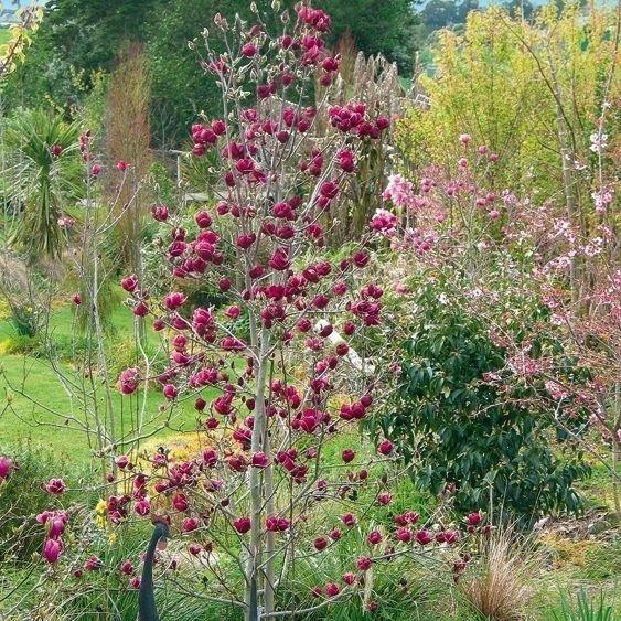 Magnolia, ciemne kwiaty, uprawa, sklep wysylkowy
