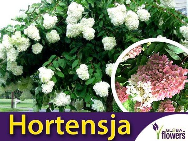 Hortensja Bukietowa Grandiflora Sadzonka