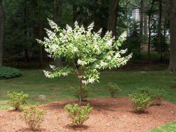 Hortensja Bukietowa 'Kyushu' (Hydrangea paniculata) Sadzonka