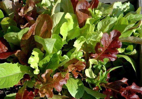 Kolorowa mieszanka Sałaty liściowej Lollo Rossa