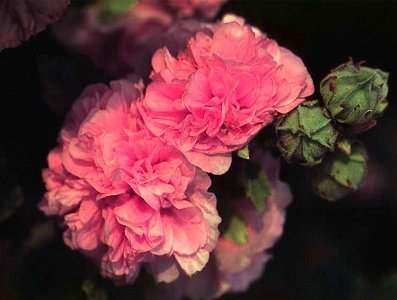 Delikatna różowa malwa