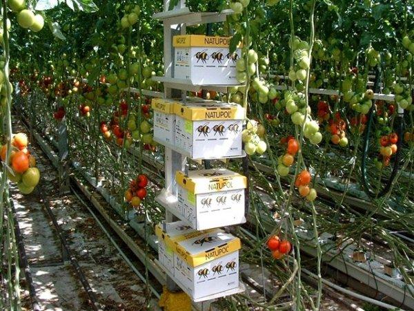 plantację pomidorów