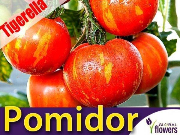 Pomidor Tigerella