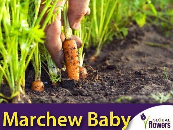 Marchew Typ Baby Mignon średnio wczesna (Daucus carota)
