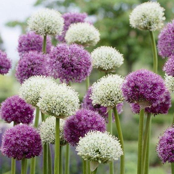 Czosnek mount everest (Allium) CEBULKA
