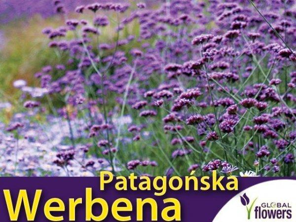Werbena patagońska liliowa