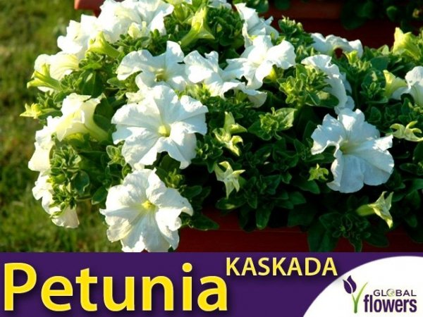 Petunia ogrodowa Kaskada biała (Petunia x hybrida pendula)