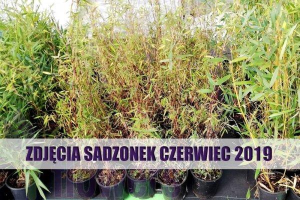 sadzonka bambusa czerwonego cena