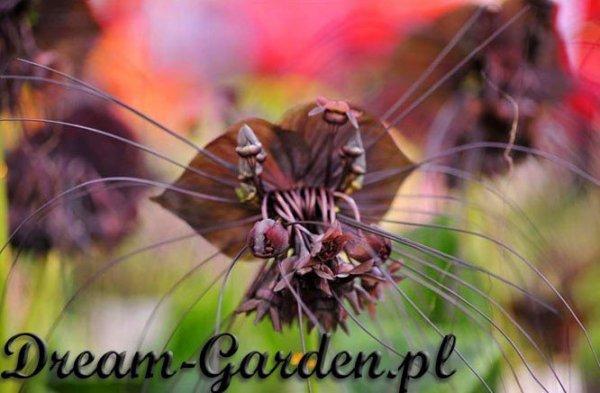 Niesamowite kwiaty Nietoperza