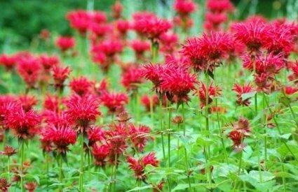 Pysznogłówka - piękny czerwony kwiat