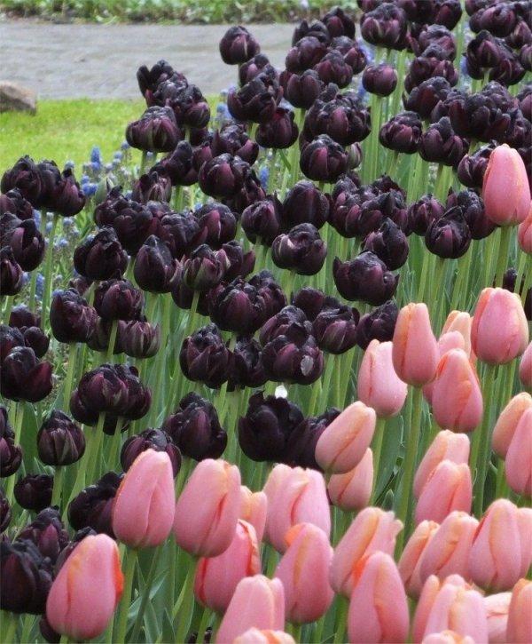 cebulki czarnego tulipana