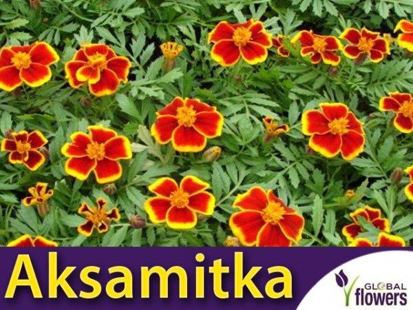 Aksamitka rozpierzchła, Red Marietta (Tagetes patula nana) 1g