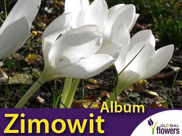Zimowit Biały Album (Colchicum ) CEBULKA