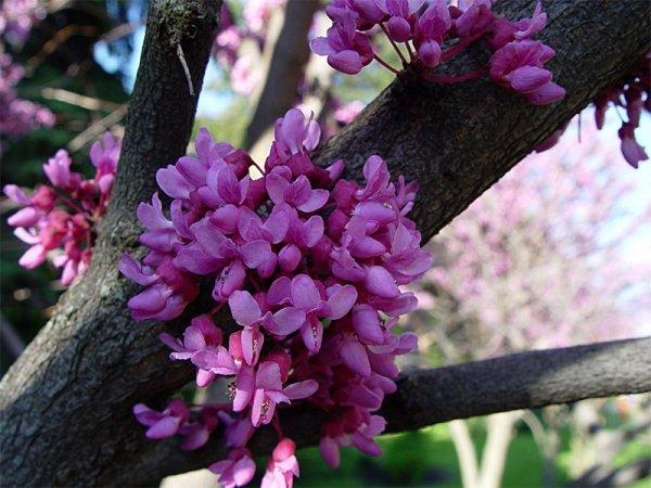 kwiaty na korze judaszowiec