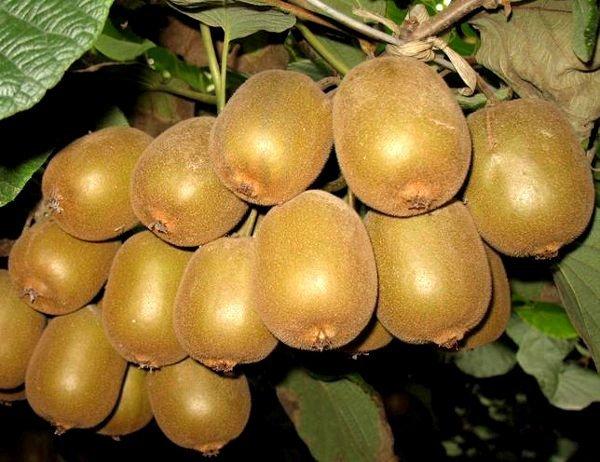 odmiany kiwi