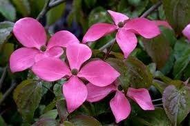 Dereń Kousa różowe kwiaty uprawa