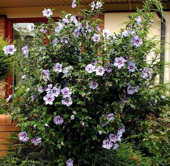 Piękne kwiaty Ketmii