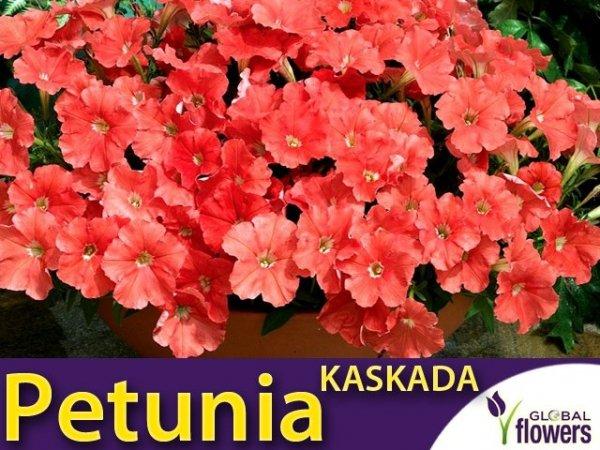 Petunia ogrodowa Kaskada łososiowa (Petunia x hybrida pendula)