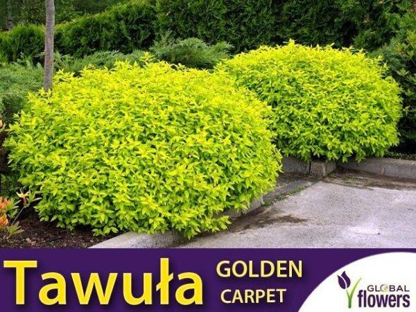 Tawuła Japońska 'Golden Carpet' (Spiraea japonica) Sadzonka