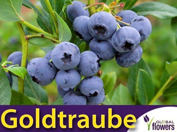 Borówka Amerykańska Sadzonka 3 - 4 letnia- odmiana Goldtraube