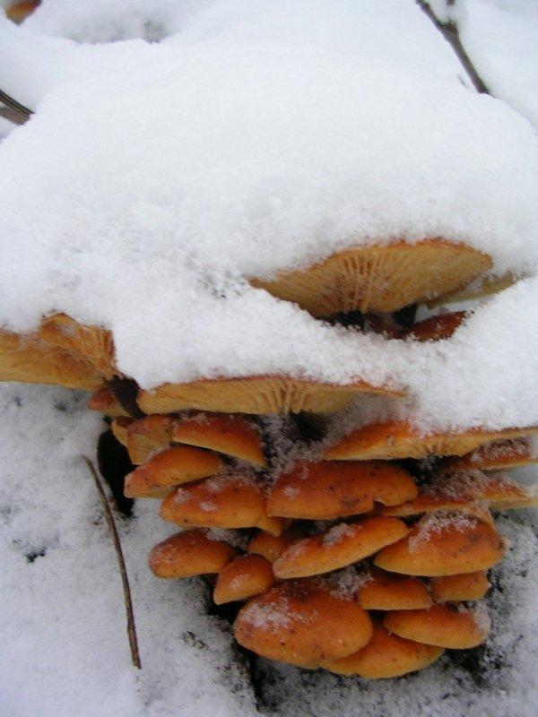 Zimówka grzyb