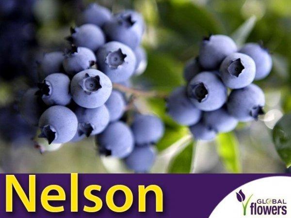 Borówka Amerykańska Sadzonka 2 letnia - odmiana Nelson