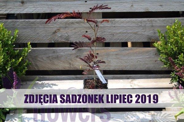UNIKAT ! Albicja'Summer Chocolate Sadzonka