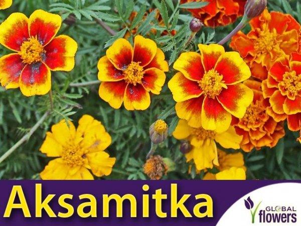 Aksamitka rozpierzchła, mieszanka o kwiatach pojedynczych (Tagetes patula nana) 1g