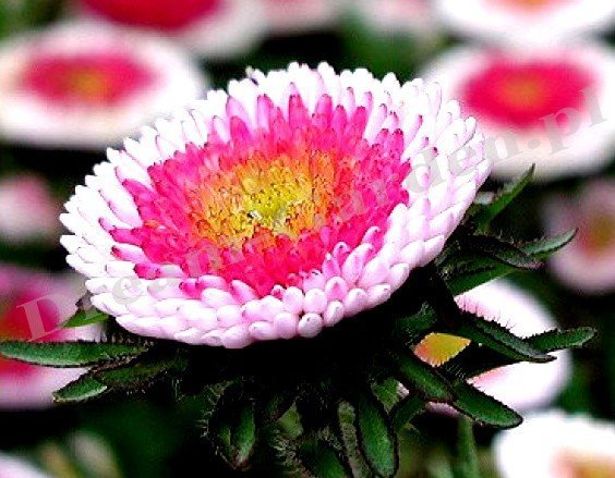 Piękne dwubarwne astry