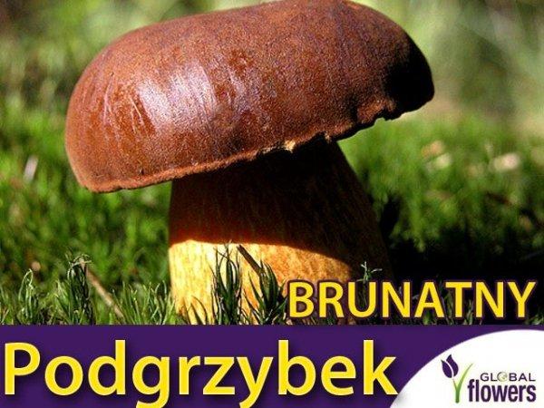 Mikoryza Grzybnia Podgrzybek brunatny (Boletus badius) XXL 100g