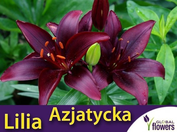 Lilia czarna Azjatycka (lilium) Mapira CEBULKA