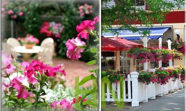 Petunia doskonała ozdoba balkonów i tarasów