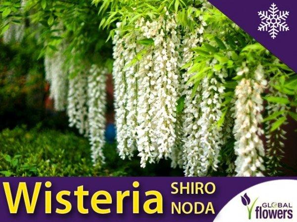 Wisteria Glicynia kwiecista 'Shiro Noda' (Wisteria floribunda) Sadzonka