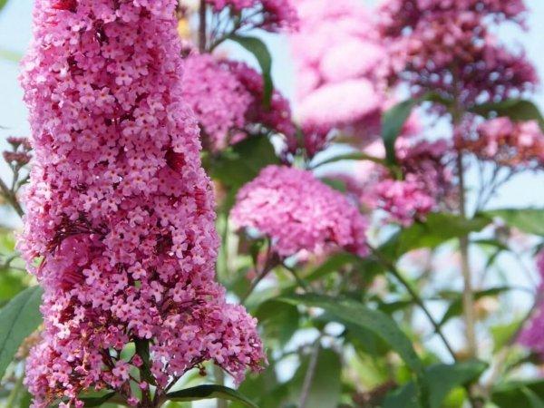 Motyli krzew różowy