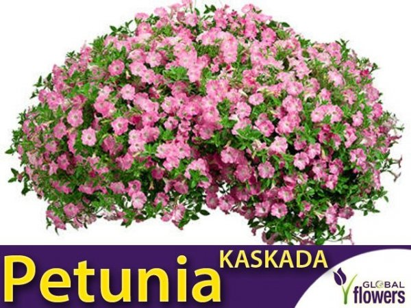 Petunia ogrodowa Kaskada różowa (Petunia x hybrida pendula)