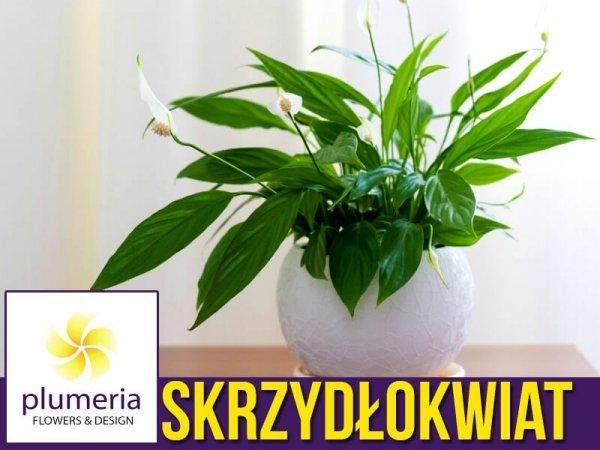Skrzydłokwiat PEARL CUPIDO kompaktowy długo kwitnie roślina domowa
