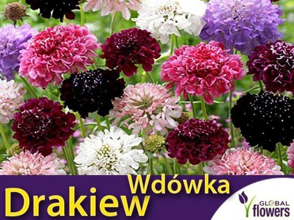 Driakiew, Wdówka (Sabiosa atropurpurea)